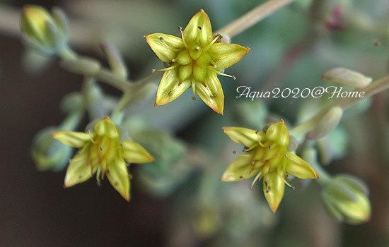 19_多肉植物(花名不明)の花.jpg